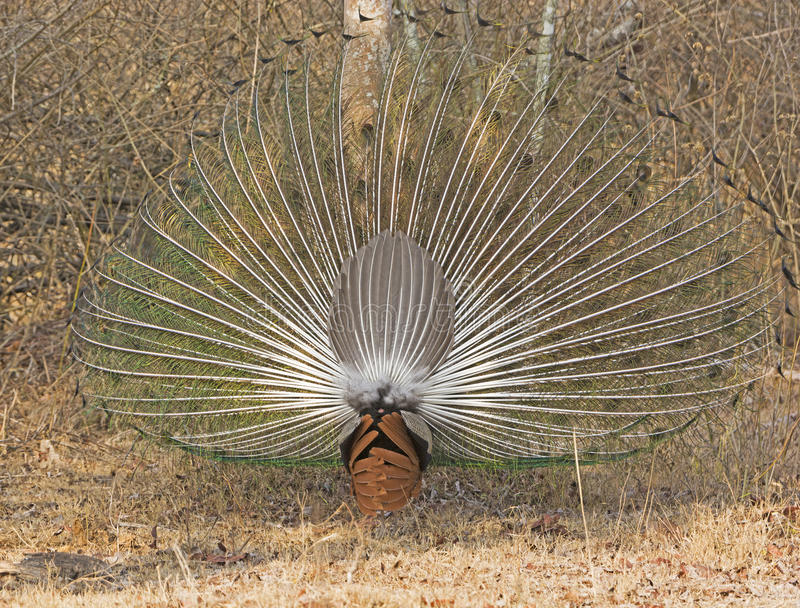 Rear View of a Peacock Displaying royalty free stock images