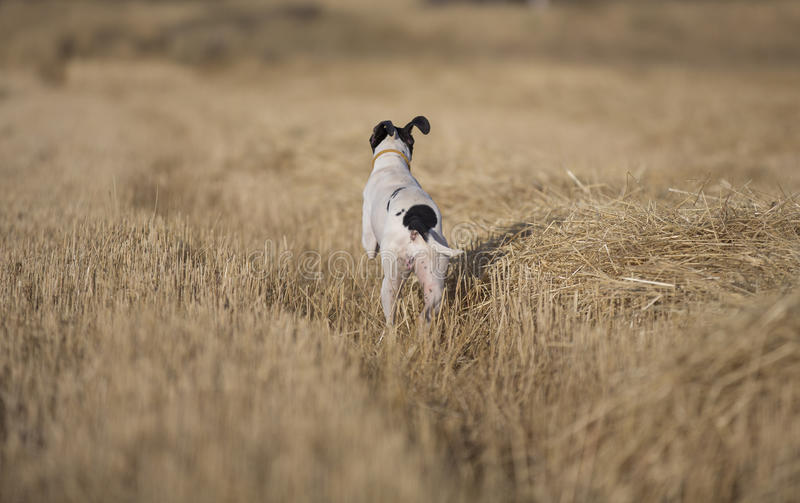 Rear View Of Pointer Royalty Free Stock Images