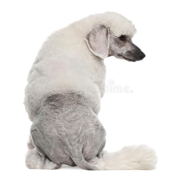 Rear view of Poodle, 1 year old, sitting in front of white background stock image