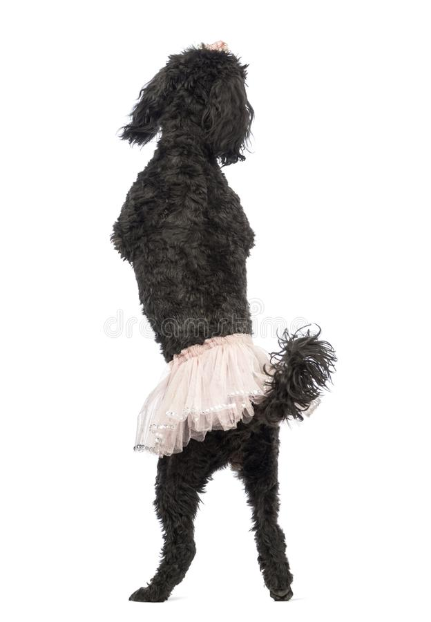 Rear view of a Poodle, 5 years old, standing stock images