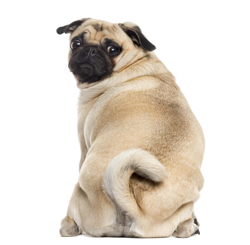 Rear view of a Pug isolated on white stock images