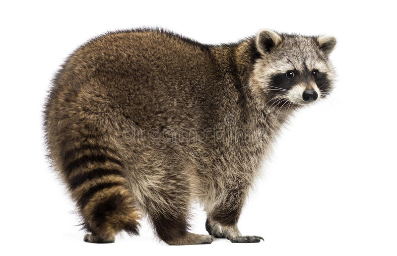 Rear view of a Racoon, Procyon Iotor, standing, isolated. On white royalty free stock images