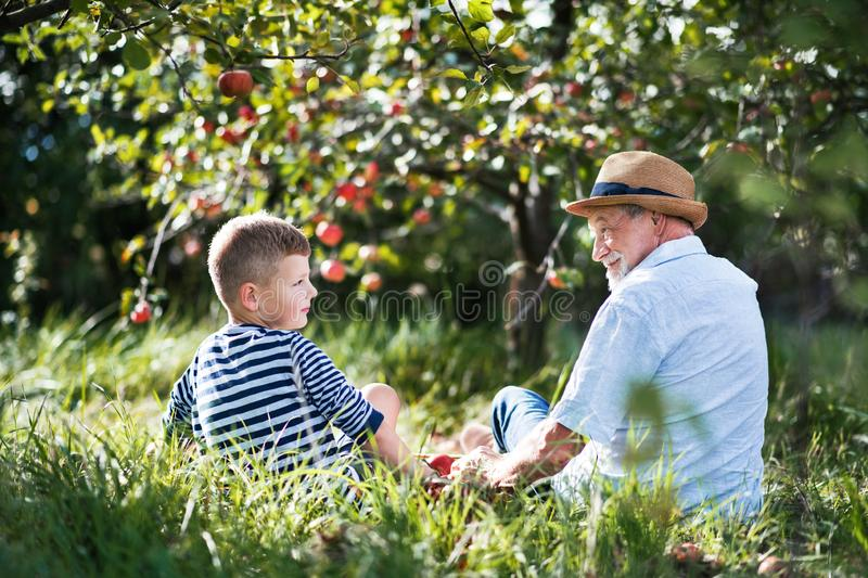 A rear view of senior grandfather with grandson sitting on grass in orchard. royalty free stock photo