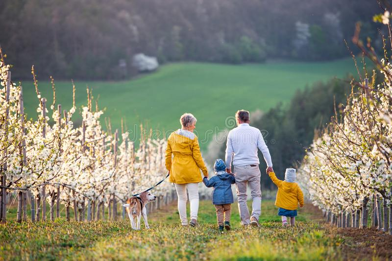 Rear view of senior grandparents with toddler grandchildren walking in orchard in spring. Rear view of senior grandparents with toddler grandchildren and dog stock image