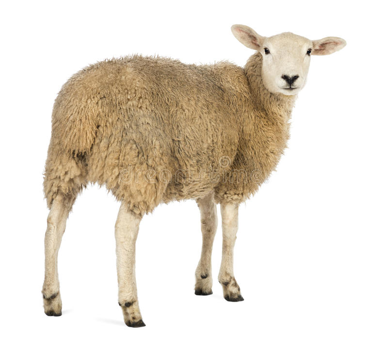 Rear view of a Sheep looking back. Against white background royalty free stock photo