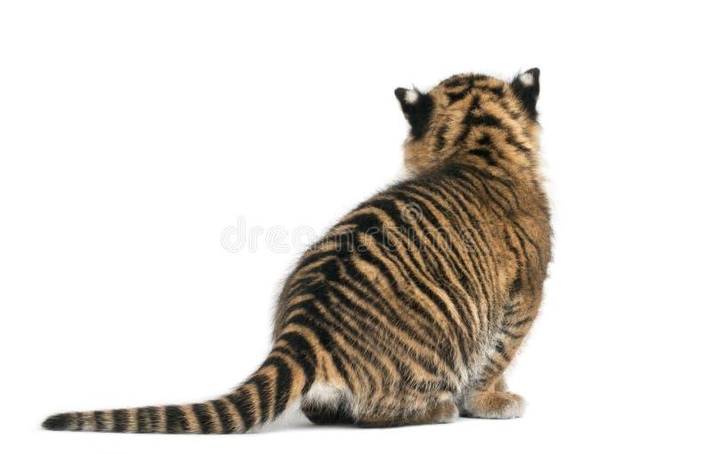 Rear view of Sumatran Tiger cub, Panthera tigris sumatrae, 3 wee. Ks old, in front of white background stock images