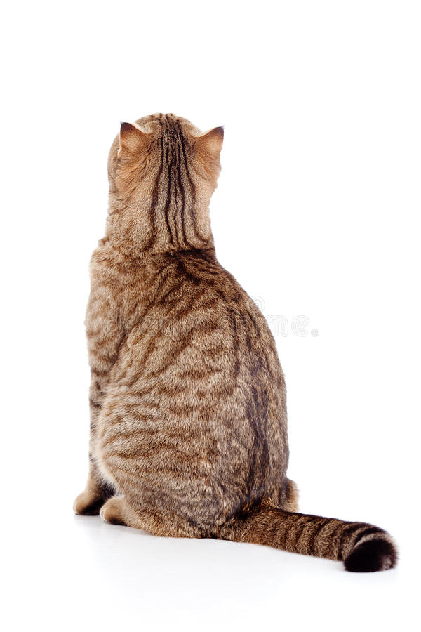 Rear view of tabby-cat on white. Rear view of cat on white royalty free stock images