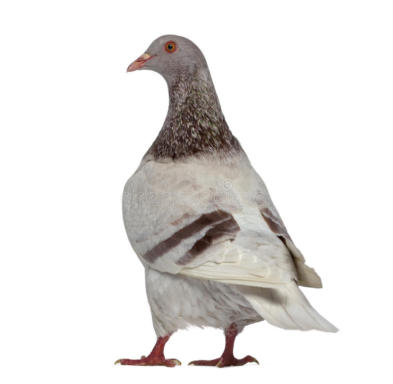 Rear view of a Texan pigeon. Isolated on white stock photography