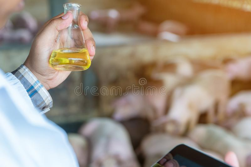 Rear View of veterinarian Doctor wearing a protective suit and holding an Erlenmeyer flask for checking Foot and Mouth Disease in. Pig farming. Concept of stock photo