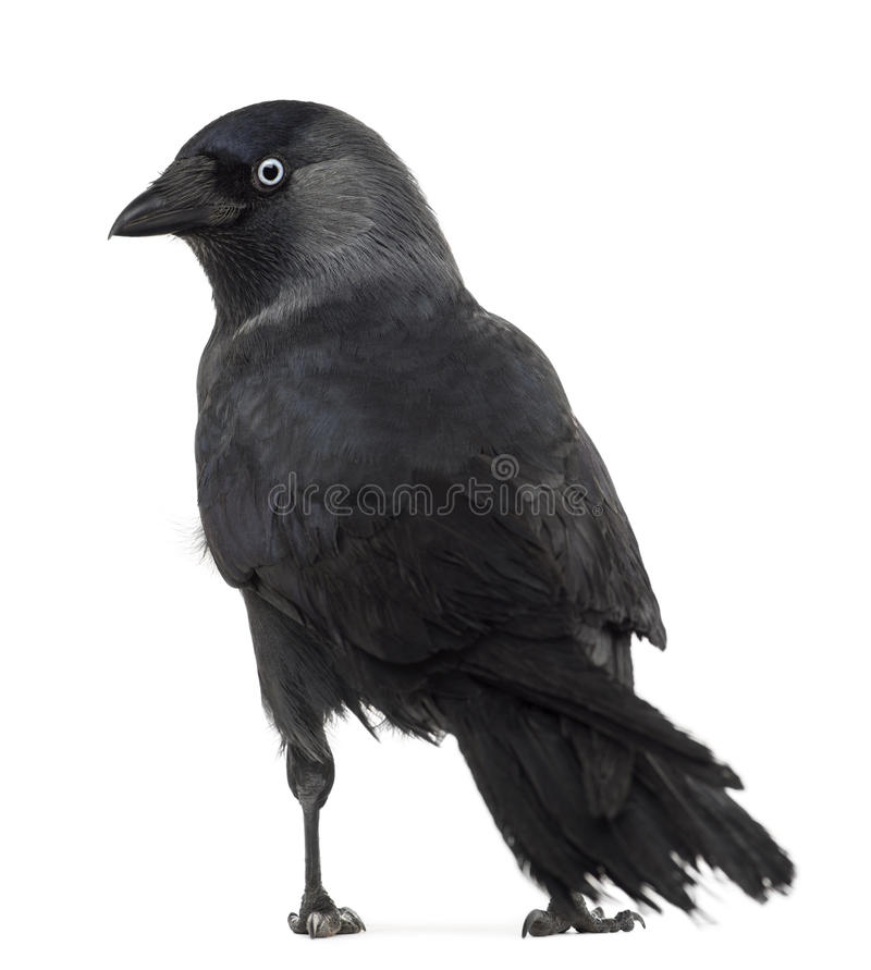 Rear view of a Western Jackdaw looking back royalty free stock photography