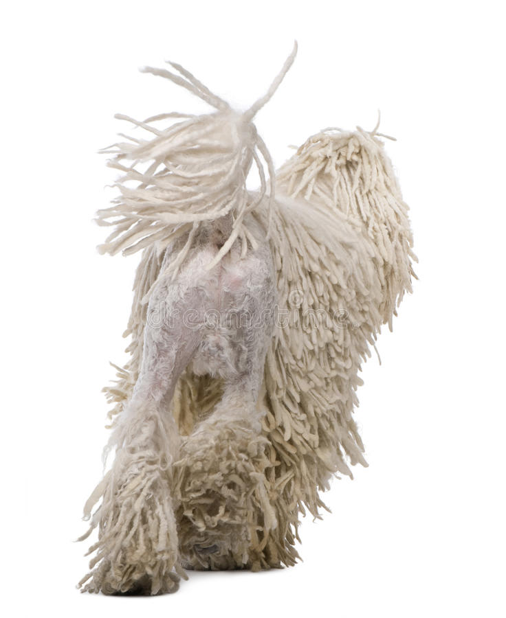 Rear view of White Corded standard Poodle walking. In front of white background royalty free stock images