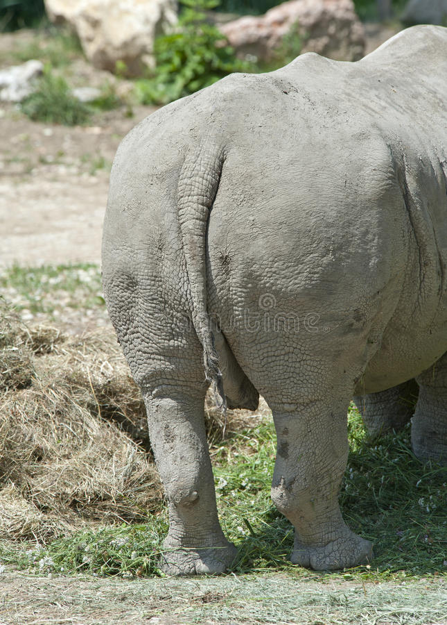 Download Rear View Of A White Rhinoceros Stock Photo - Image: 26066000