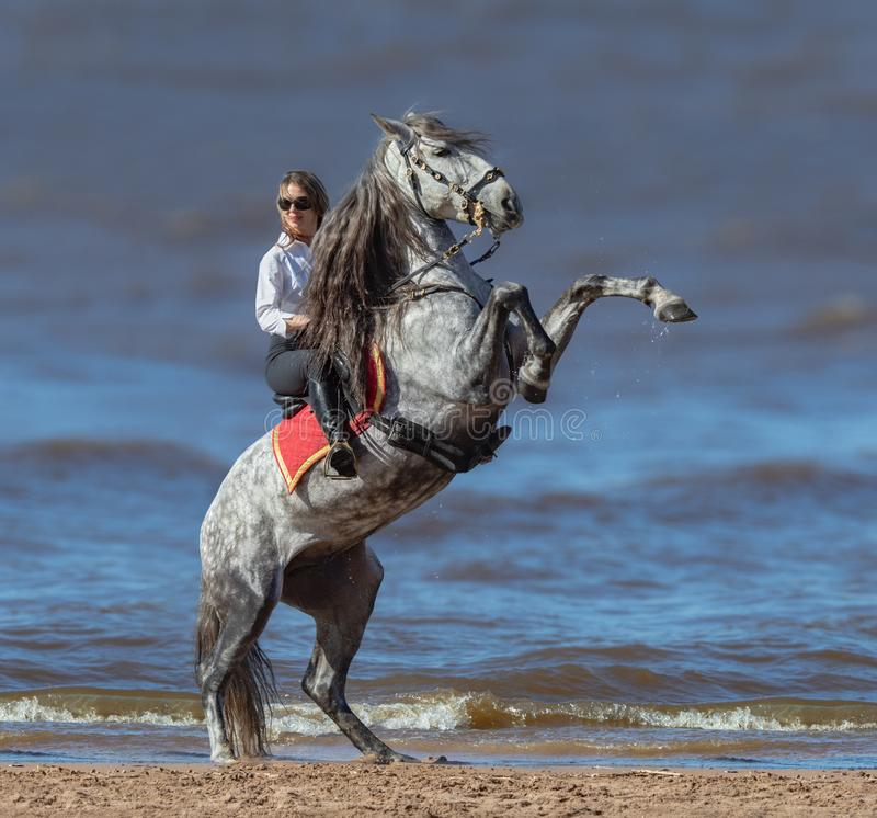 Rearing Andalusian dapple gray stallion and woman on beach stock photos