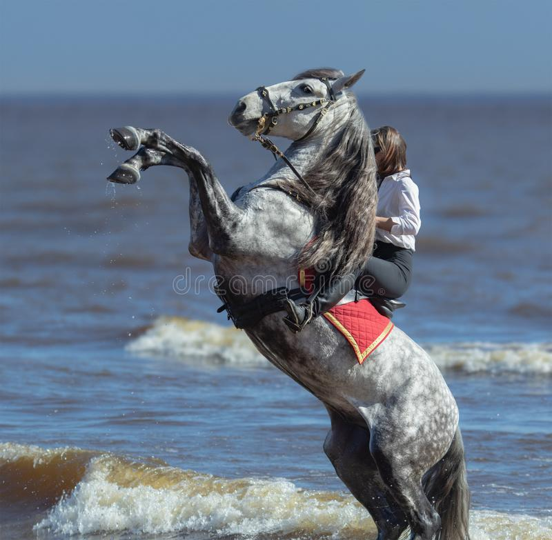 Rearing Andalusian dapple gray stallion and woman on beach stock photography