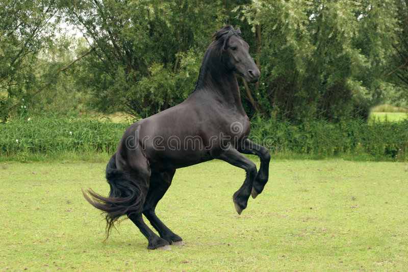 Rearing black horse stock images
