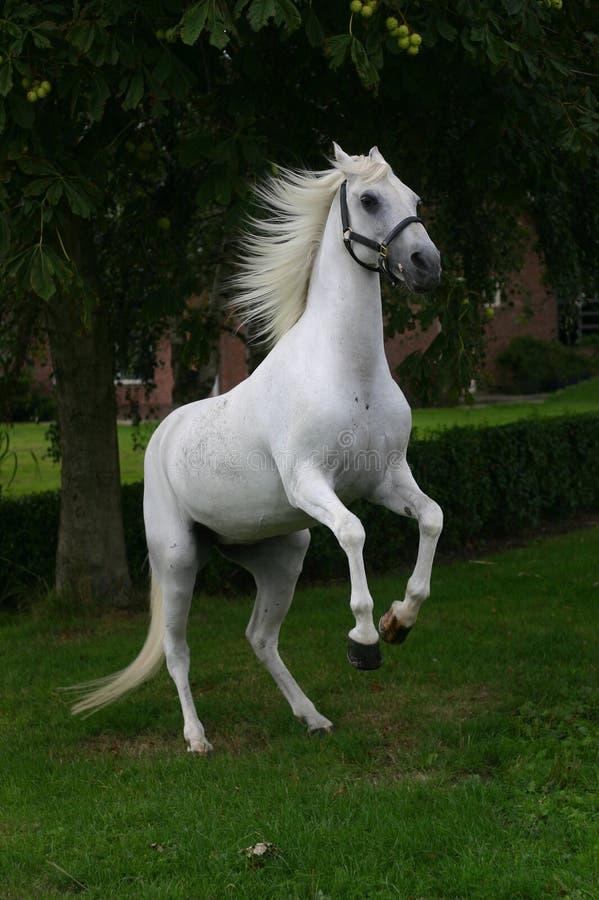 Rearing horse royalty free stock image