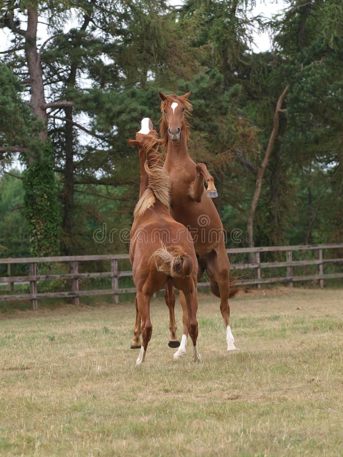 Rearing Horses stock images