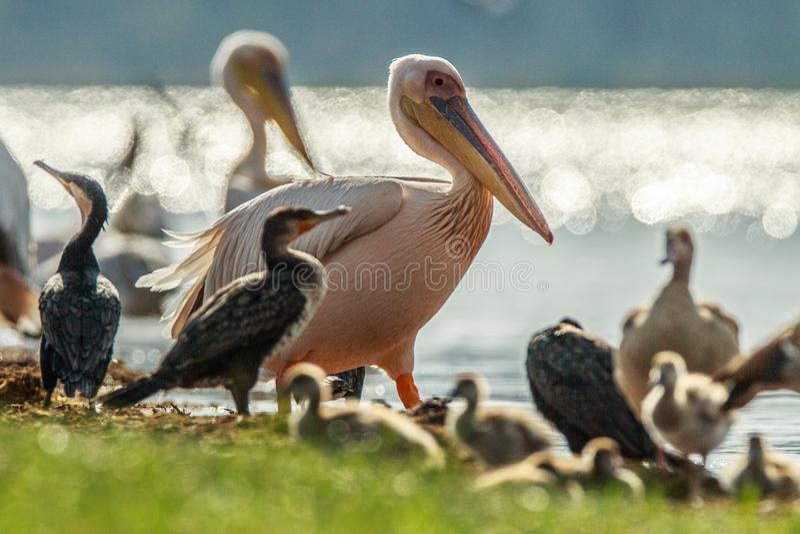 Reat white pelican,Pelecanus onocrotalus, eastern white pelican, rosy pelican or white pelican is a bird in the pelican family sum stock photo