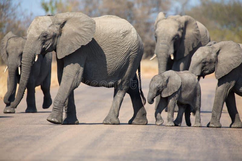Rebaño de cría del elefante con el pequeño camino del alquitrán de la cruz del becerro fotos de archivo libres de regalías