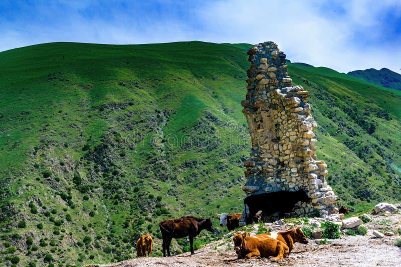 Rebaño de vacas en las montañas caucásicas cerca del lugar de riego en la puesta del sol imagenes de archivo