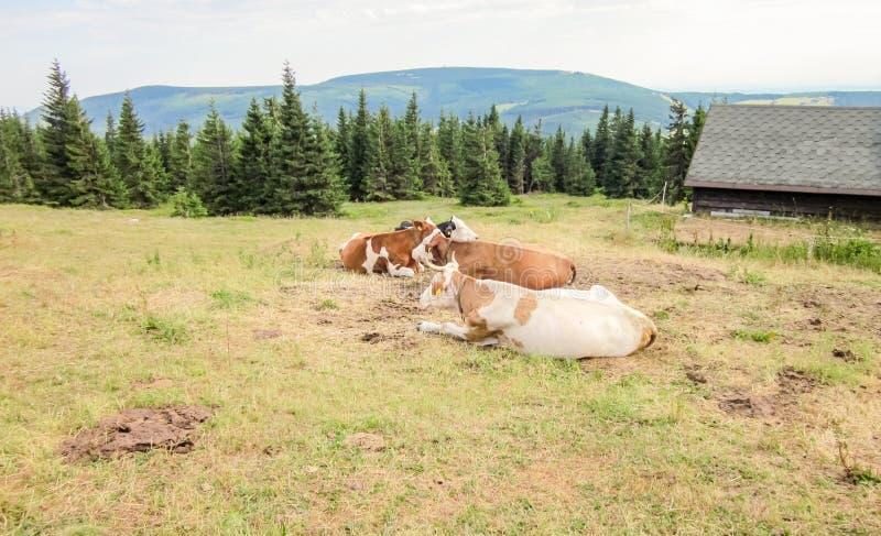 Rebaño de vacas que miente encima de las montañas imágenes de archivo libres de regalías