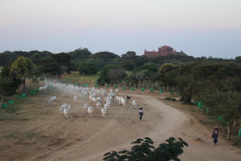 Rebaño de vacas a través de los caminos de Bagan Myanmar imagen de archivo libre de regalías