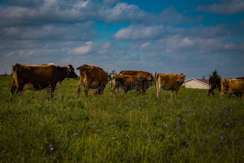 Rebaño lechero de Amish en campo imágenes de archivo libres de regalías