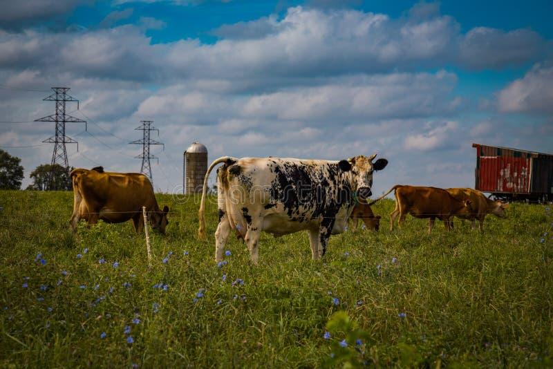 Rebaño lechero del condado de Lancaster en Psture fotos de archivo