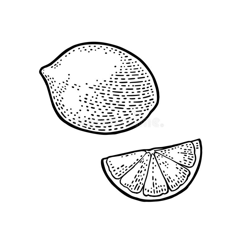 Rebanada del limón y entero Ejemplo negro del grabado del vintage del vector ilustración del vector