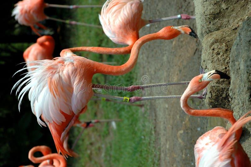 Rebanho cor-de-rosa dos flamingos imagens de stock