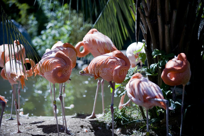 Rebanho cor-de-rosa dos flamingos que descansa no Sun foto de stock