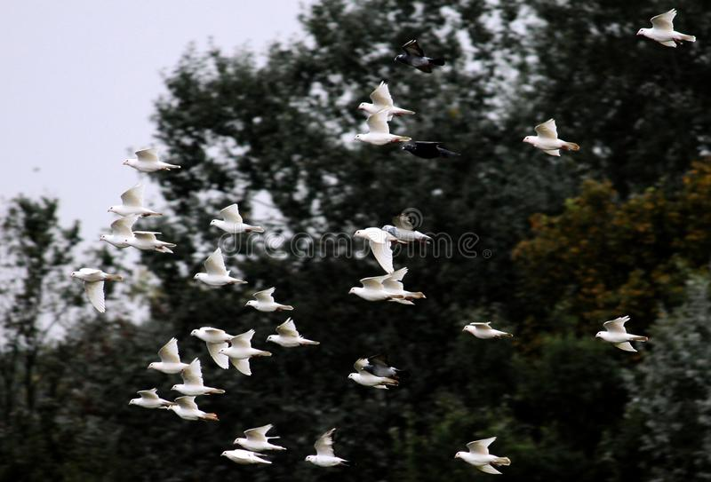 Rebanho crescente dos pombos brancos fotografia de stock