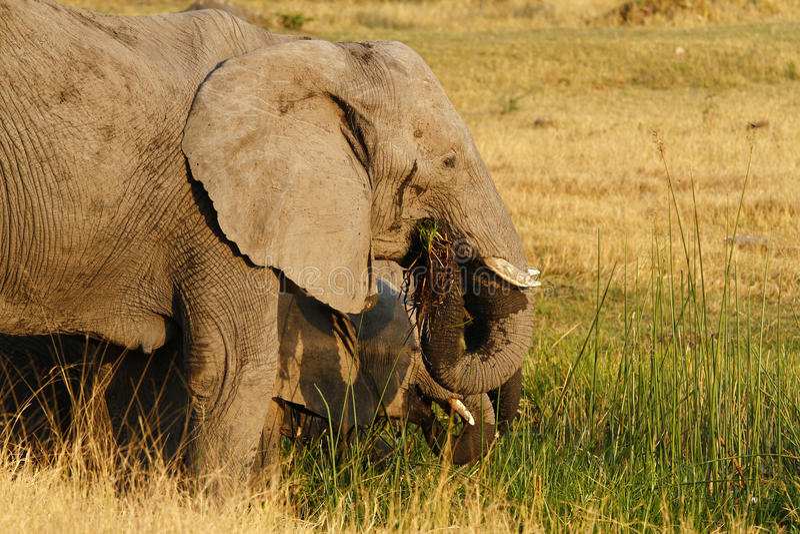 Rebanho da alimentação dos elefantes africanos foto de stock
