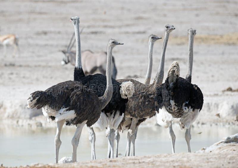 Rebanho da avestruz imagens de stock