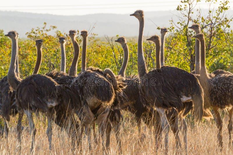 Rebanho da avestruz foto de stock royalty free
