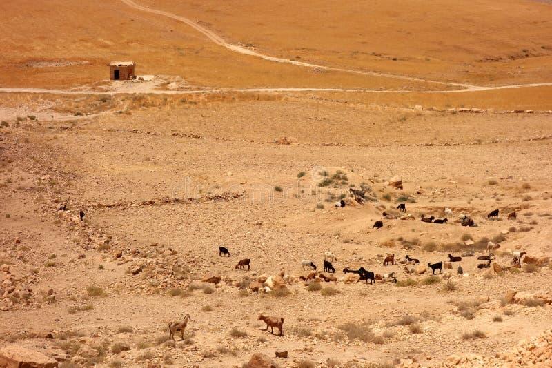 Rebanho da cabra em Jordânia fotografia de stock