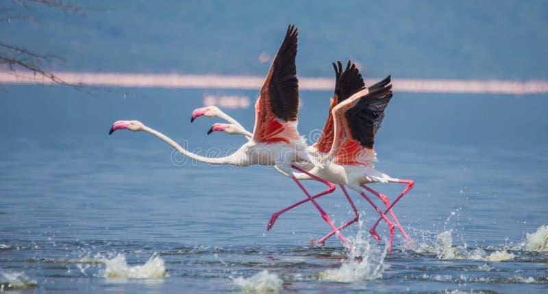 Rebanho da descolagem dos flamingos kenya África Nakuru National Park Reserva nacional de Bogoria do lago foto de stock