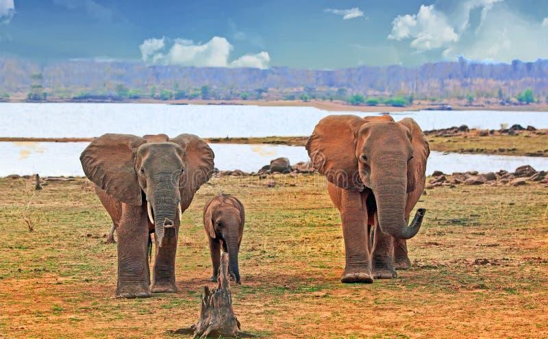 Rebanho da família do elefante e de uma vitela pequena, estando na linha costeira de lago Kariba, Zimbabwe imagem de stock