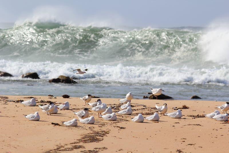 Rebanho da gaivota na praia pelo mar tormentoso fotografia de stock royalty free