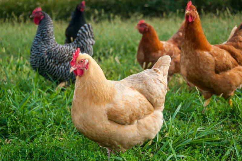 Rebanho da galinha imagens de stock