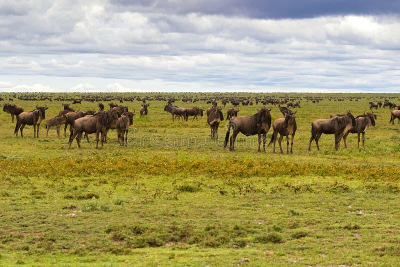 Rebanho da migração farpada branca do gnu, antílope Brindled do gnu em planícies de Serengeti em Tanzânia, East Africa foto de stock