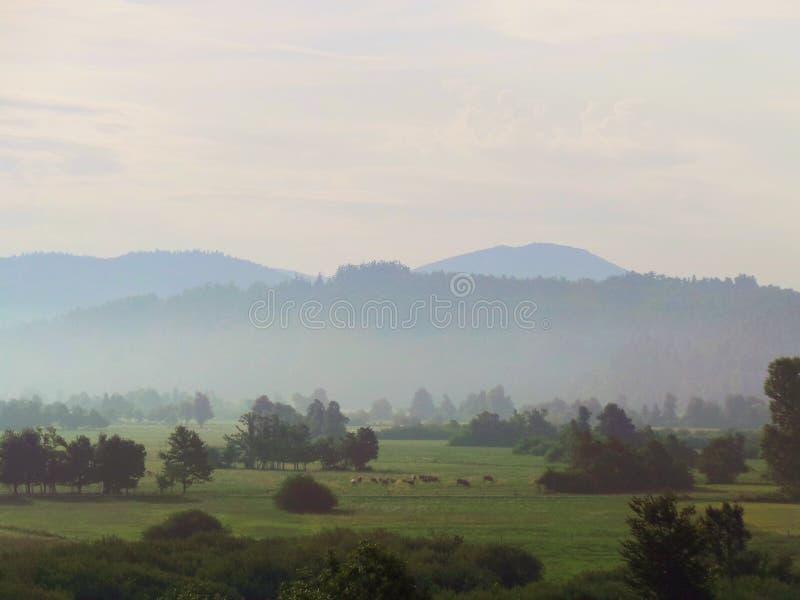 Rebanho da névoa das árvores dos prados da paisagem da manhã de Eslovênia das vacas fotografia de stock royalty free