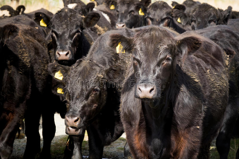 Rebanho da vaca, Nova Zelândia imagens de stock