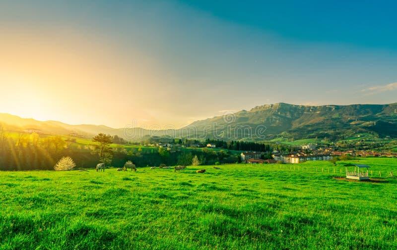 Rebanho da vaca que pasta no campo de grama com o céu azul bonito e a luz solar da manhã Vaca que cultiva o rancho Pasto animal P imagens de stock royalty free