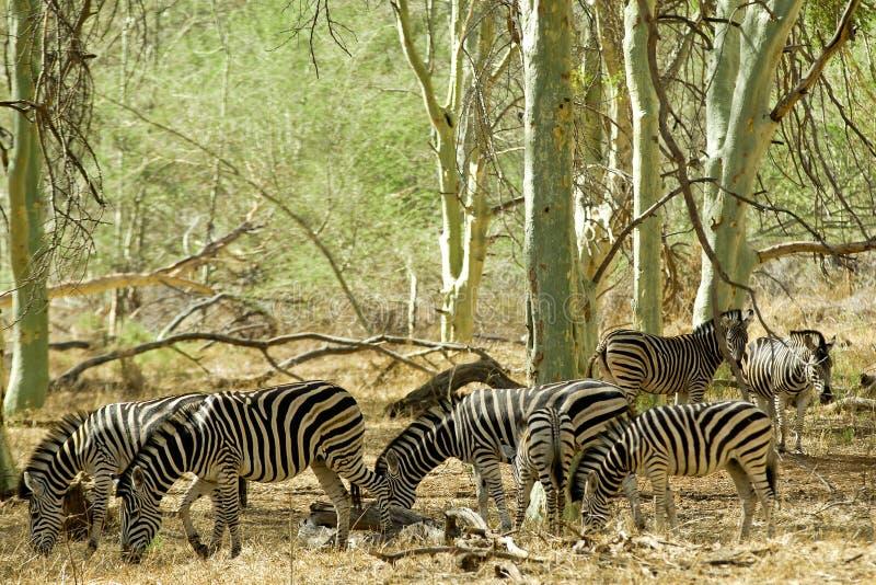 Rebanho da zebra fotografia de stock