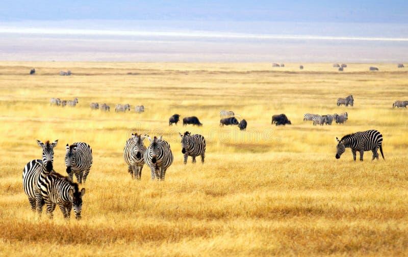 Rebanho da zebra em um parque nacional em África fotos de stock royalty free