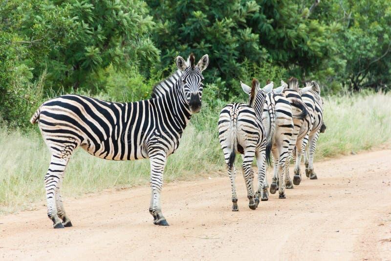 Rebanho da zebra em uma estrada de terra fotografia de stock
