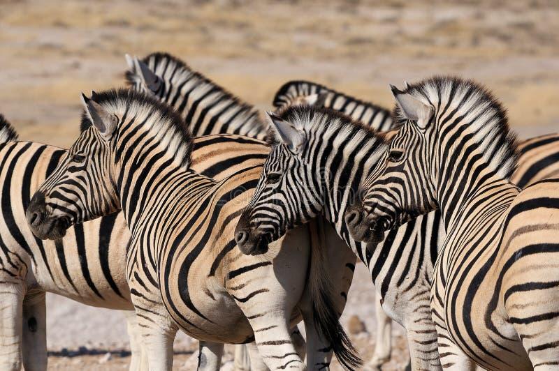 Rebanho da zebra, Etosha, Namíbia imagem de stock