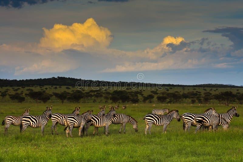 Rebanho da zebra no por do sol foto de stock
