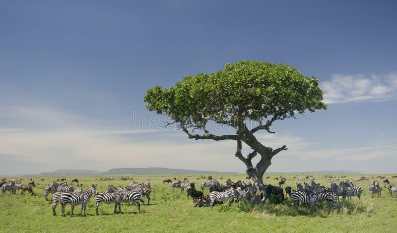 Rebanho da zebra no Serengeti imagens de stock